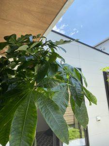 観葉植物のある暮らし インテリアグリーン 建築家住宅 R+house薩摩川内